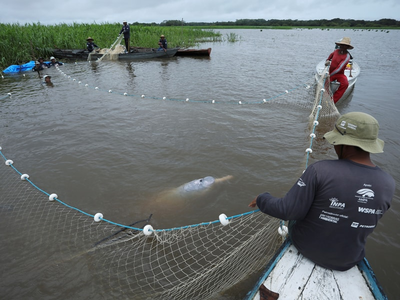"""Beloved Amazonia: Assistants from an aquatic mammals project capture an Amazon river dolphin, also known as a pink river dolphin, at the Amazon's Mamiraua Sustainable Development Reserve in Uarini, Brazil, Jan. 19, 2020. The Vatican released Pope Francis' post-synodal apostolic exhortation, """"Querida Amazonia"""" (Beloved Amazonia), Feb. 12. (CNS photo/Bruno Kelly, Reuters)"""