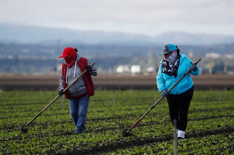 essential farmworkers: Migrant workers clean fields near Salinas, Calif., March 30, 2020, amid the coronavirus pandemic. Farm labor advocates say farmworkers are essential workers.(CNS photo/Shannon Stapleton, Reuters)